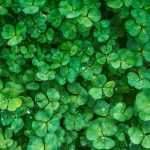 A close-up of a grouping of clover.